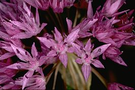 Allium lemmonii (Lemmon's onion) (5725148968).jpg