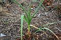Allium sativum 4 2014-03-28.jpg