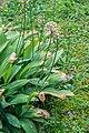 Allium victorialis in La Jaysinia.jpg