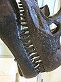 Allosaurus Teeth (8555196543).jpg