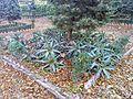 Aloe vera en el Parque de la Victoria.jpg