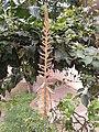 Aloe vera flower 20130715.jpg