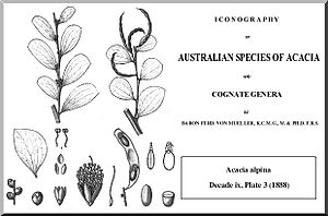 Acacia alpina - Image: Alpina mueller