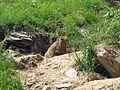 Alpine Marmot - Flickr - GregTheBusker.jpg