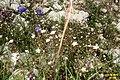 Alpine flora (31814717962).jpg