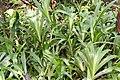 Alpinia zerumbet 39zz.jpg