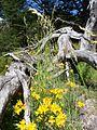 Alstroemeria aurea PN Villarrica por Pato Novoa - 003.jpg