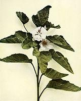 Althaea officinalis WFNY-127.jpg
