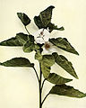 Althaea officinalis WFNY-127.jpg