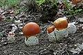 Amanita caesarea.Mushrooms of Russia.jpg