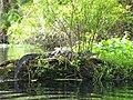 American Alligator .jpg