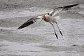 American Avocet in Flight.jpg