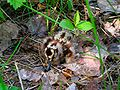 American woodcock chick.jpg