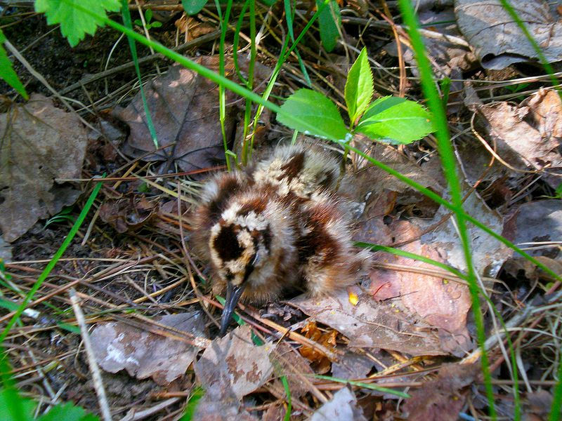 File:American woodcock chick.jpg