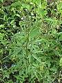 Amethystea caerulea 49117972.jpg