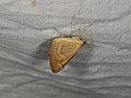Anachloris subochraria (27957544248).jpg