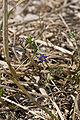 Anagallis arvensis-subsp-foemina vallee-de-grace-amiens 05082007 1.jpg