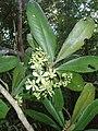 Ancistrocladus tectorius CTNP RPB flowers.jpg
