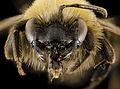 Andrena milwaukeensis, F, Face, Hancock co., Brooklin 2014-01-06-14.40.01 ZS PMax (13669009455).jpg