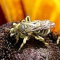 Andrena rudbeckiae 2.jpg