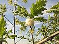 Andricus quercusramuli 2601.jpg