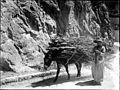 Ane transportant des sarments à lentrée de la grotte du Mas dAzil, 6 juin 1899 (6217377126).jpg