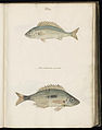 Animal drawings collected by Felix Platter, p1 - (62).jpg