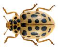 Anisosticta novemdecimpunctata (Linné, 1758) (30408647986).png