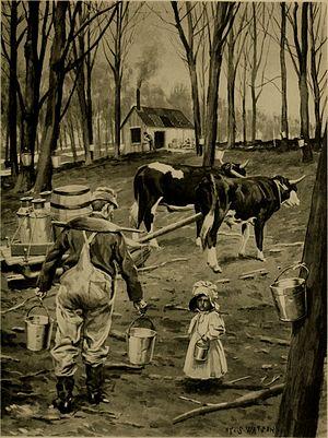 Sugar bush - After tapping (circa 1902)