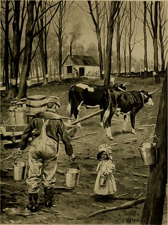 Sugar bush - After tapping (circa 1902)