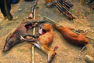 Indian muntjac - Hunted two muntjacs and one wild boar: Indian muntjac is hunted for meat and skin in several areas of South and Southeast Asia.