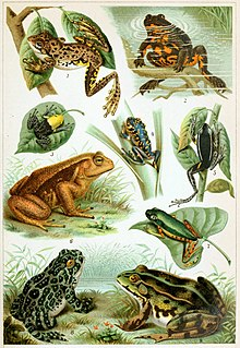 Frog Member of an order of vertebrates belonging to the amphibians, and comprising largely carnivorous, short-bodied, and tailless animals