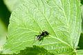 Ant on leaf (6196776153).jpg