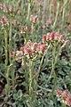 Antennaria dioica kz02.jpg