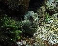 Antennarius Maculatus Meereszentrum Fehmarn.jpg