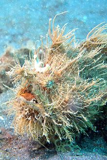 Frogfish (wiki)