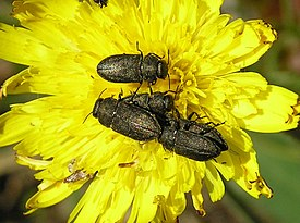 Anthaxia quadripunctata with hieracium pilosella 3 bialowieza beentree.jpg