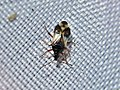 Anthocoris nemorum (Anthocoridae) (Common flowerbug) - (imago), Elst (Gld), the Netherlands.jpg