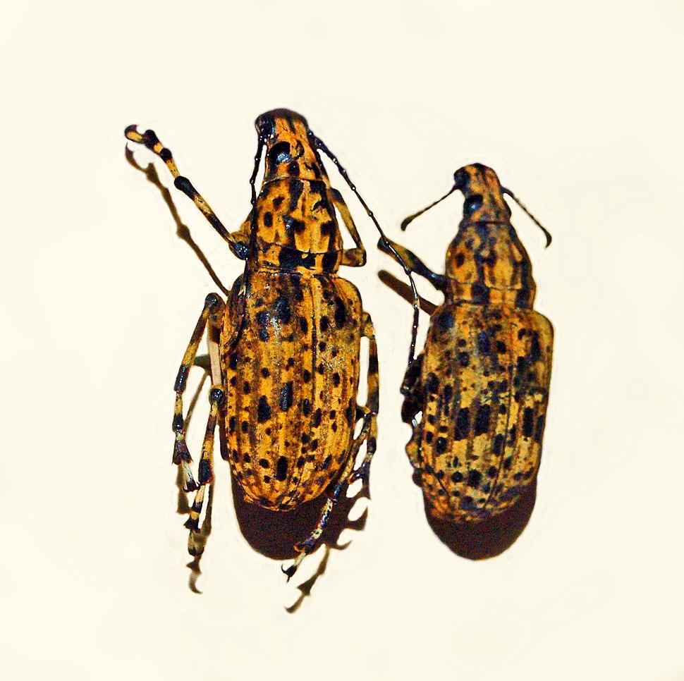 Anthribidae - Meganthribus pupa