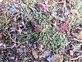 Anthyllis vulneraria subsp. pseudoarundana Habitus 2009July25 SierraNevada.jpg