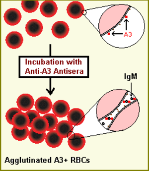 History and naming of human leukocyte antigens - Agglutination of HLA-A3 positive red blood cells (RBCs) with anti-A3 alloreactive antisera containing Anti-A3 IgM