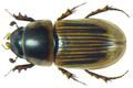 Aphodius (Neocalaphodius) moestus Fabricius, 1801.png