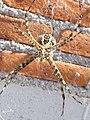 Araña de jardín (Ags., México) 10.jpg