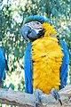 Ara ararauna -Brazil -perching on branch-6a.jpg