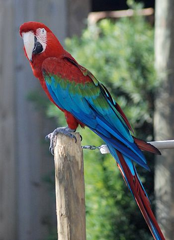 English: Green-winged Macaw or Red-and-green M...