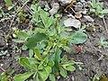 Arabis blepharophylla 2017-04-17 7760.jpg