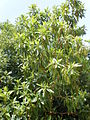 Arbutus canariensis 1c.JPG