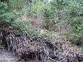 Arctostaphylos uva-ursi (5192274799).jpg