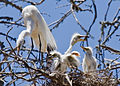 Ardea alba chicks with parent, Morro Bay Heron Rookery - by Mike Baird.jpg