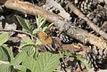 Argynnis niobe - Niyobe 08.jpg